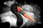 Portrait of a Female Saddle-billed stork intent on her next meal.