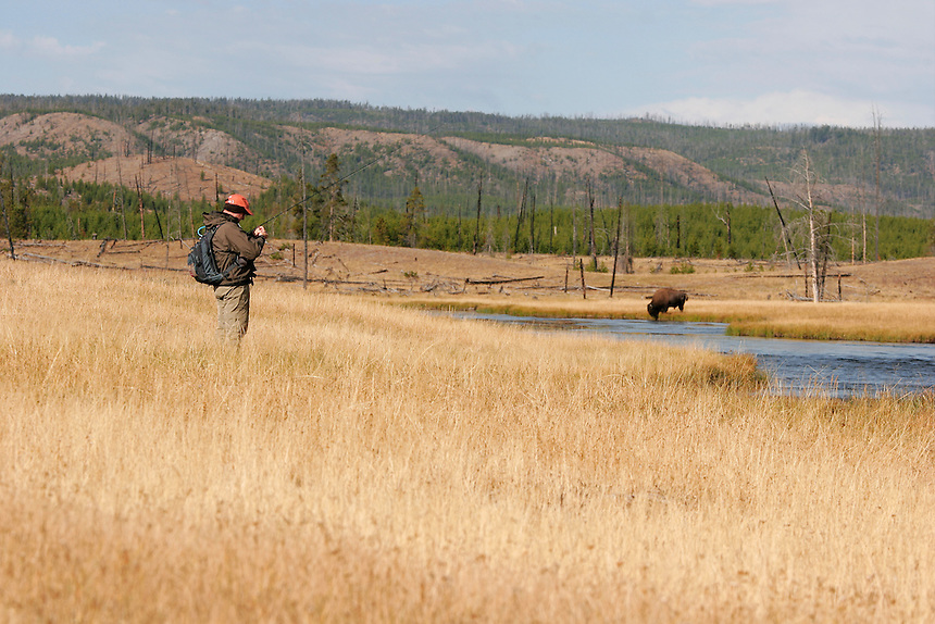 Bison and Fly Fisherman sharing the Firehole River, Yellowstone National Park