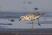 Black-bellied Plover foraging on tidal flats; Pluvialis squaterola;  Bolivar Flats Shorebird Sanctuary, Texas, Gulf Coast
