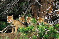 Four young coyote pups wait for their parents return near den (they are standing on dirt pile in front of den).  Western U.S.   June.