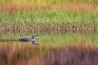Red-throated loon swims in a tundra pond surrounded by colorful autumn colors reflecting in the water, Denali National Park, Alaska.