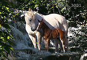 Bob, ANIMALS, horses, photos, GBLA3031,#a# Pferde, caballos