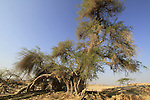Israel, Arava, Jujube tree in Ein Hatzeva