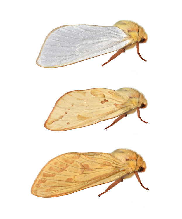 Ghost Moth - Hepialus humuli<br /> 3.005 BF14