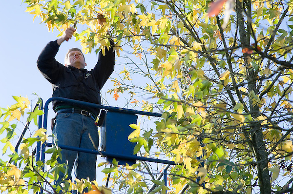 Steve McCurdy preparing Liquidambar Styraciflua (Sweet Gum) for transporting from a scissor lift