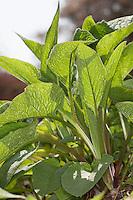 Gewöhnlicher Beinwell, frische Blätter im Frühjahr, Blattrosette, Arznei-Beinwell, Beinwurz, Wilder Komfrey, Symphytum officinale, Common Comfrey,  Consoude officinale