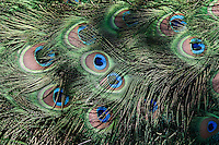 Indian Blue Peacock tail feathers