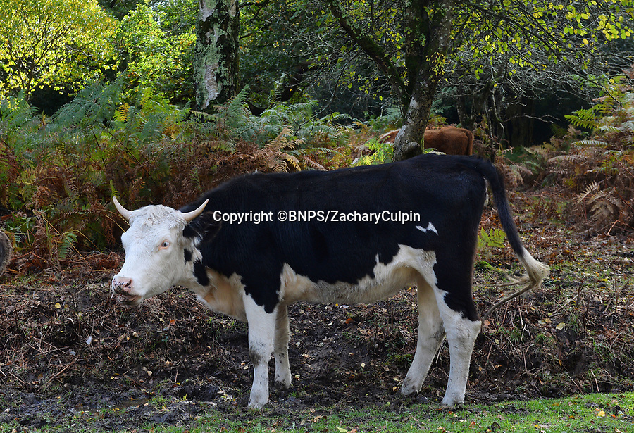 BNPS.co.uk (01202 558833)<br /> Pic: ZacharyCulpin/BNPS<br /> <br /> Horned cattle in the village Bramshaw in the New Forest.<br /> <br /> Hundreds of cows in the New Forest are having their horns removed following a worrying rise in cattle attacks on dog walkers.<br /> <br /> While many owners are agreeing to dehorn their livestock to reduce the risk of serious injury to the public, others object and compare it to 'going into the jungle to remove the claws from a tiger.'<br /> <br /> They blame a 'decline in sensible behaviour among forest users' for the increase in the attacks.