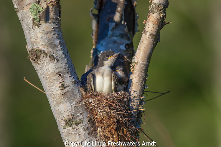 Eastern kingbird - nestlings