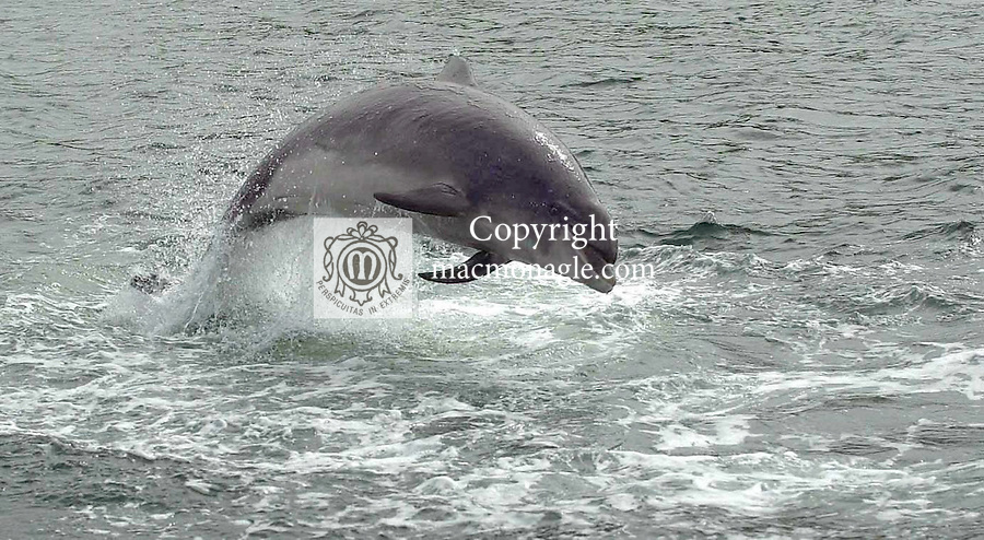 (2006) -Dingle's wild friendly dolphin known affectionetely as 'Fungi' and is over 50 years old according to local scientists. But even at 50 Fungi, as our pictures taken this weekend show, he is as sprightly as ever. Fungi arrived in Dingle bay in 1983 and has been seen by well over 3,000,000 tourists over the past 20 years. To this day Fungi can be seen swimming close to boats and doing 10ft flips in the harbour. Local tour operators charge 10 euro for a trip to see Fungi with the provisio that should you not see him you get your money back!. (very few people received a refund)..Fungi is as important to Dingle tourism as the lakes are to Killarney. Queues of over 100 people on the pier waiting forthe next boat trip are a daily sight during the month of August..Picture by Don MacMonagle *** Local Caption *** ©macmonagle photography,.6 port road,.killarney,.county kerry.ireland.email: info@macmonagle.com.Tel: 353-64-32833