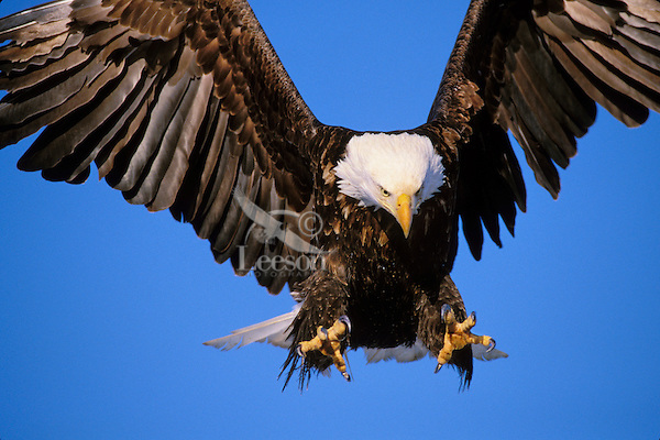 Bald Eagle (Haliaeetus leucocephalus) preparing to land.  Alaska.