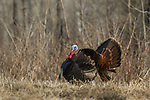 Eastern wild turkey strutting