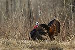 Eastern wild turkey strutting