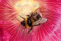 Gartenhummel, Bombus hortorum, Megabombus hortorum, beim Blütenbesuch auf Stockrose, Nektarsuche, Bestäubung, small garden bumble bee