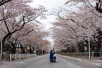 "Kazuyuki Takita, 32, takes photos of the cherry blossom along a street famed for having one of Japan's longest cherry blossom ""tunnels"" in Tomioka, Fukushima Prefecture, Japan on Wednesday 20 April  2011. Takita, who hails from Iwaki about one-hour's drive away, was visiting the town  to see the famed cherry trees despite the trees being located just a few miles from the leaking Fukushima No. 1 nuclear power plant..Photographer: Robert Gilhooly"