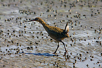 The endangered Clapper Rail looks for food along the edge of San Francisco Bay. The population levels of the California Clapper Rail are precariously low due to destruction of its coastal habitat by prior land development and shoreline fill.