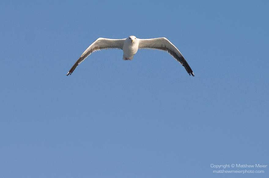 Santa Barbara Island, Channel Islands, California; a lone Herring Gull (Larus argentatus) sea gull flying overhead against a blue sky , Copyright © Matthew Meier, matthewmeierphoto.com All Rights Reserved