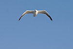 Santa Barbara Island, Channel Islands, California; a lone Herring Gull (Larus argentatus) sea gull flying overhead against a blue sky , Copyright © Matthew Meier, matthewmeierphoto.com All Rights Reserved