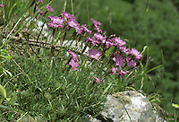 Cheddar Pink (Dianthus gratianopolitanus) HEIGHT to 20cm. Charming, tufted perennial that is restricted to the limestone slopes and crags of Cheddar Gorge. The flowers are pink, 2-3cm across and are solitary on slendar stalks (May-July). The leaves are grey and narrow.