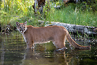 Mountain Lion or cougar (Puma concolor) along beaver pond.  Western U.S., June.