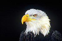 521040010 a portrait of a captive wildlife rescue bald eagle hailaeetus leucocephalus native to north america this species of eagle is listed as federally threatened