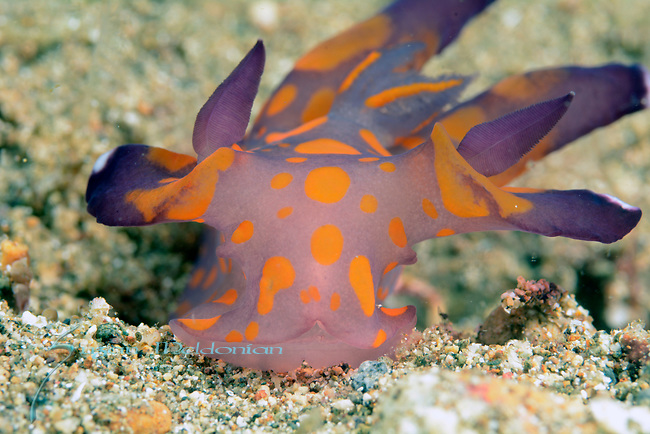 Thecacera sp 3 nudibranch , Anilao