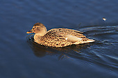 Female  Mallard duck swimming on lake. Mallard ducks are one of the most commonly-known duck species