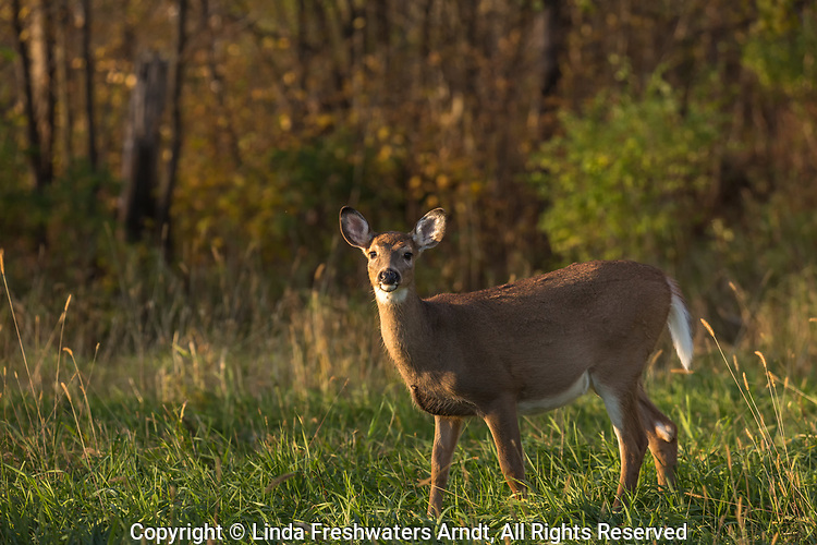 White-tailed fawn standing in a northern Wisconsin field.