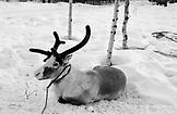 SWEDEN, Swedish Lapland,  Reindeer