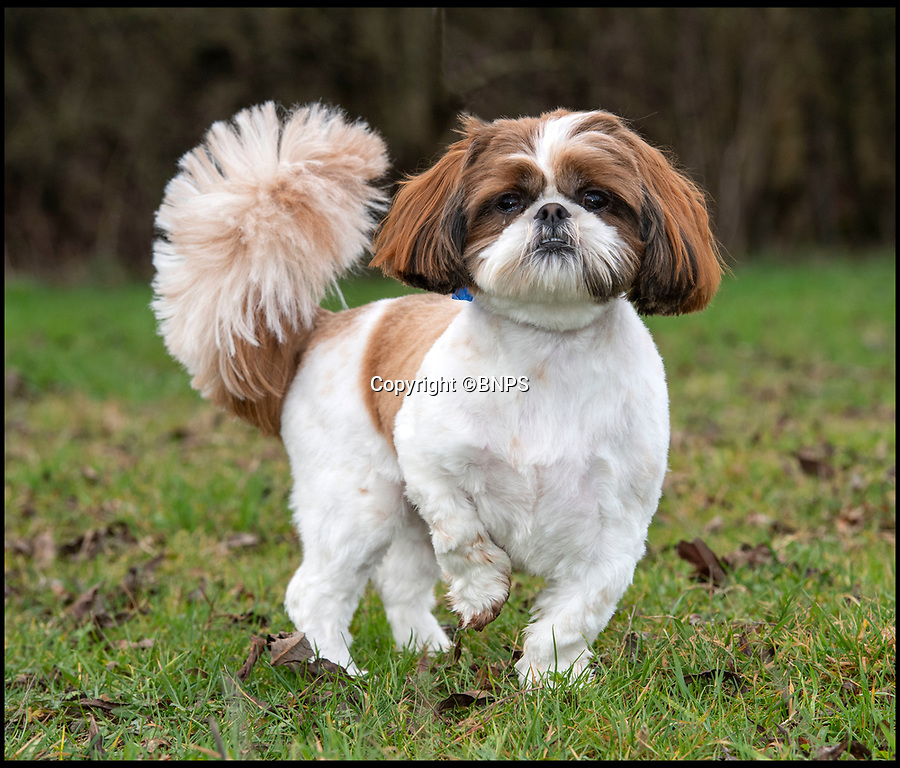 BNPS.co.uk (01202 558833)<br /> Pic: PhilYeomans/BNPS<br /> <br /> Bertie is unable to run around at the moment.<br /> <br /> Meet Bertie the bow-legged Shih-Tzu puppy...<br /> <br /> A rescue centre has launched a crowd funding page to raise the £4,000 needed to help him run around again.<br /> <br /> One year old Bertie has been abandoned by his owners who couldn't afford the cost of his life changing operations, but Ardley rescue centre boss Annabelle Weir from Bicester in Oxfordshire is determined to give bow-legged Bertie a second chance.