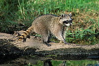 Raccoon (Procyon lotor) preying on frog Pacific N.W.