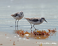 Sanderlings in post-breeding plumage on July 4