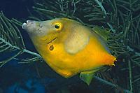 Whitespotted Filefish in orange phase, Cantherhines macroceros, Bonaire, Netherlands Antilles, Caribbean, Atlantic