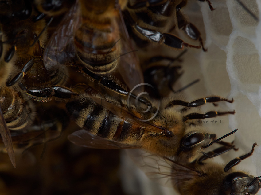 Wax-producing bees on a comb under construction.<br /> Sur un rayon en construction, les abeilles ciri&egrave;res.