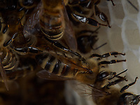 Wax-producing bees on a comb under construction.<br /> Sur un rayon en construction, les abeilles cirières.
