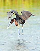 Adult reddish egret fishing