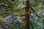 Mossy branches of a Cedar tree in tranquil deep green forest nature scenery at Vancouver Island, British Columbia, Canada.
