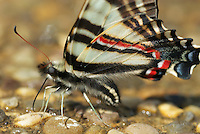 Close-up ventral view of a Zebra Swallowtail (Protographium marcellus), Franklin County, Ohio