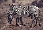 Grevy's zebra in Samburu National Park, Kenya