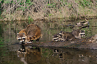 Raccoon (Procyon lotor) adult with young, Spring.  Western U.S.
