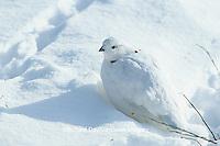 00839-00319 Willow Ptarmigan (Lagopus lagopus) in snow, Churchill  MB