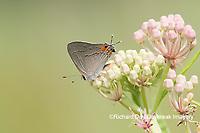 03191-00619 Gray Hairstreak (Strymon melinus) on Swamp Milkweed (Asclepias incarnata) Marion Co. IL