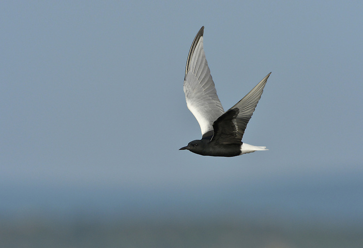 White-winged Black Tern - Chlidonias leucopterus