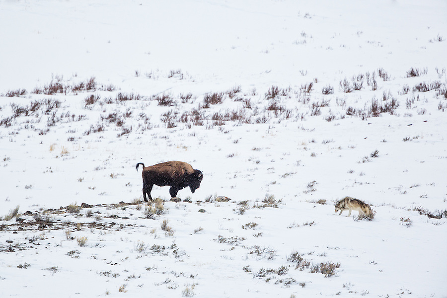 A single gray wolf approaches a bison on alert with its tail in the air during a light snowfall in Yellowstone National Park.