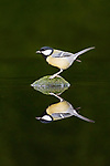 Pictured: The great tit on the rock.<br /> <br /> A great tit lands on a rock, with its reflection in the water surrounding it producing an almost perfect mirror image.  The bird can only be distinguished from its reflection by the ripples in the water that it creates as it approaches the rock.<br /> <br /> In another shot, a slightly smaller blue tit can be seen nestled amongst a collection of leaves, twigs, and mushrooms.  Wildlife photographer Paul Sawer spent five days arranging twigs and rocks trying to capture the shots at a pond in Rendham, Suffolk.  SEE OUR COPY FOR DETAILS.<br /> <br /> Please byline: Paul Sawer/Solent News<br /> <br /> © Paul Sawer/Solent News & Photo Agency<br /> UK +44 (0) 2380 458800