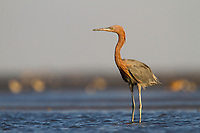 Adult Reddish Egret (Egretta rufescens) in the shallows off Raccoon Island. Terrebonne Parish, Louisiana. October.