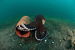 Coconut octopus or the veined octopus (Octopus marginatus) ready to flee from its plastic home.