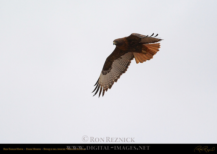 Dark Morph Red-tailed Hawk in Flight, Bosque del Apache Wildlife Refuge, New Mexico