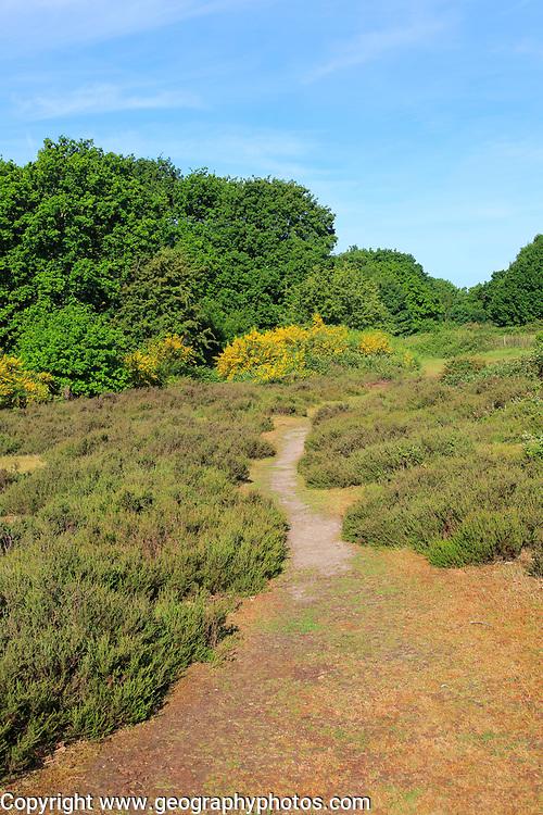 Sandlings heathland vegetation Suffolk Coast and Heaths, Shottisham, Suffolk, England, UK