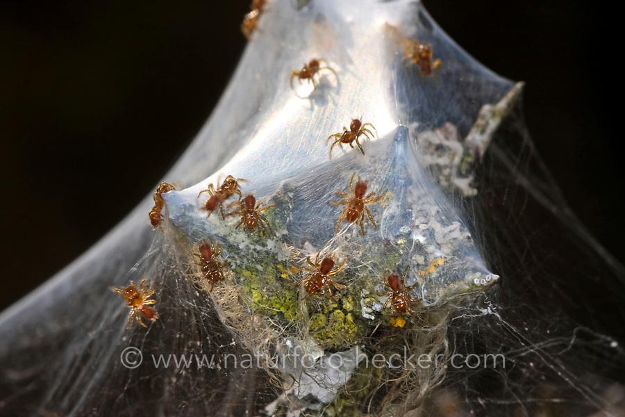 Pechschwarze Tapezierspinne, Tapezierspinne, Jungspinnen, Atypus piceus, Tapezierspinnen, Atypidae